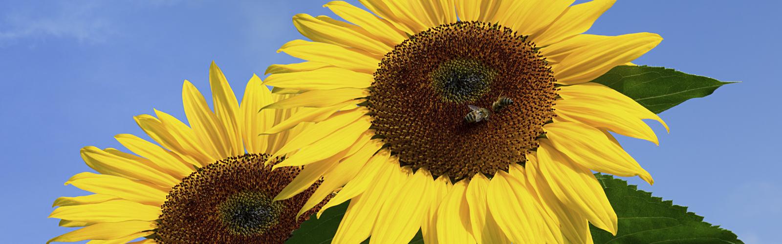 home-sonnenblumen